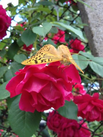 пеперуда и роза