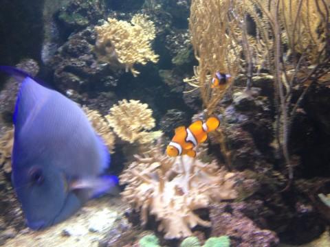 Риба клоун в аквариума в Лондон