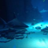 Акули в аквариума