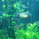 Пирани в аквариума