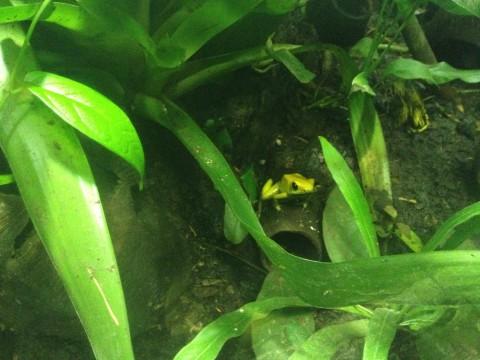 Отровна жаба