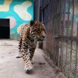 Ягуар в зоопарка в Ловеч